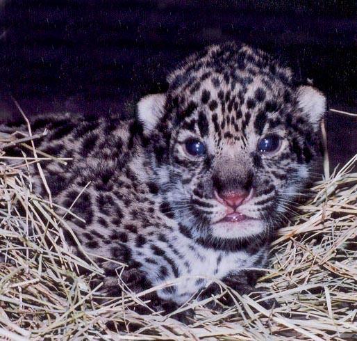 Jaguar SSP - Facts Sheet